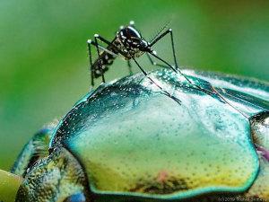 甲虫の背中で、刺すぞ!態勢の蚊