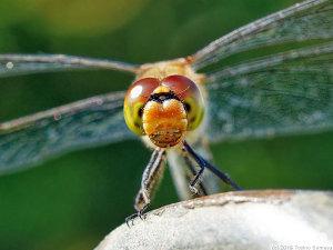 昆虫界のアンパンマン・アキアカネの顔