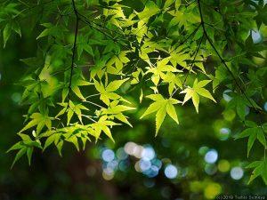 カエデの葉の現状