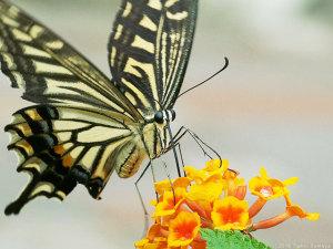 ランタナの花で吸蜜するナミアゲハ