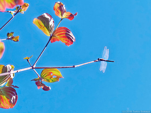 ハナミズキの紅葉とアキアカネ