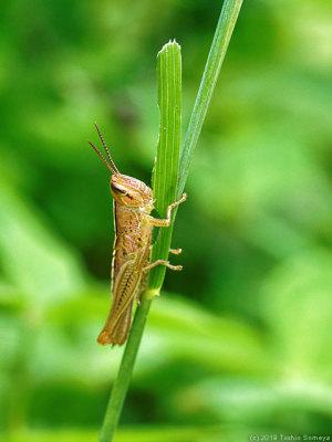 ツチイナゴの幼虫