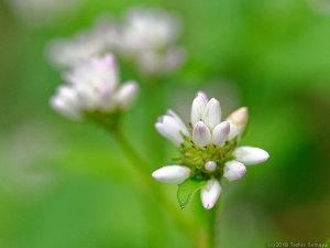 アキノウナギツカミの花
