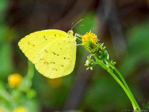 コセンダングサの花にとまるキタキチョウ