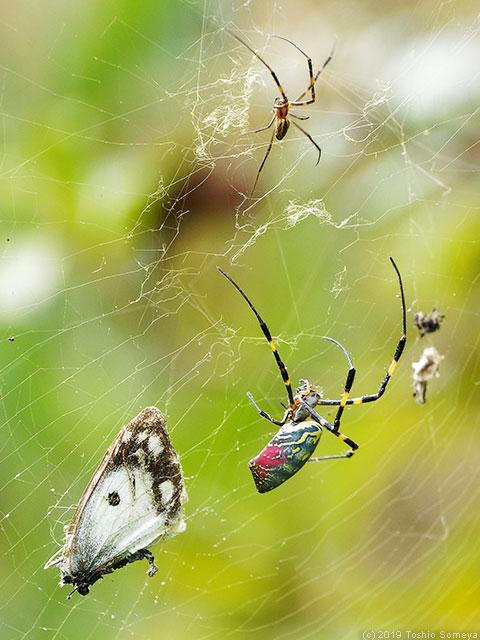 メスに追い払われるジョロウグモのオス