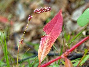 イヌタデの紅葉