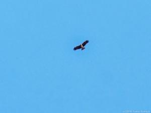 秋空を飛ぶトンビ