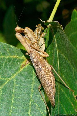 成熟したハラビロカマキリ雌