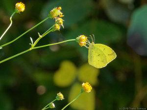 コセンダングサで吸蜜するキタキチョウ