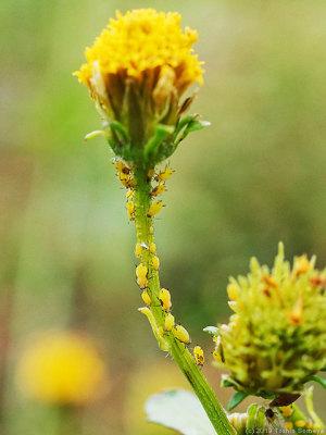 コセンダングサの茎に群れるアブラムシ