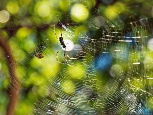 キラキラ光るジョロウグモの網