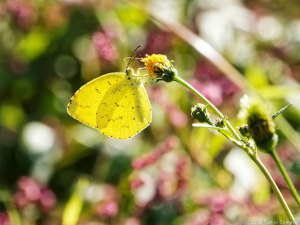 斜光を受けて透けるキタキチョウの翅