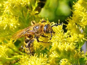 セイタカアワダチソウで吸蜜するハチ