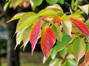サクラの葉の色づき