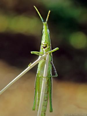 オンブバッタ・緑色タイプ成虫
