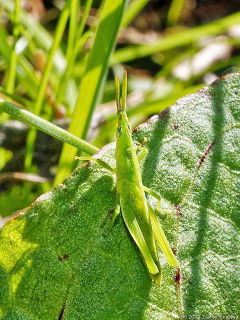 緑色タイプのオンブバッタ幼虫
