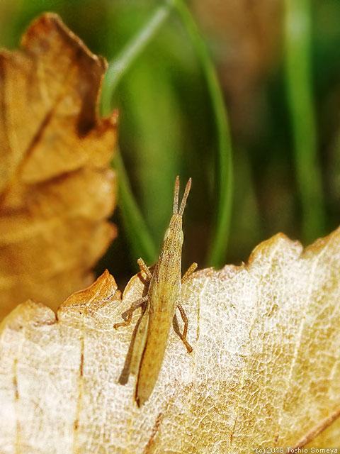 褐色タイプのオンブバッタ幼虫