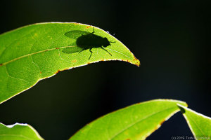 常緑樹の葉で日向ぼっこ中のハエ