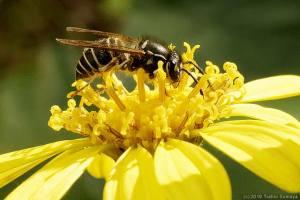 ツワブキの花で吸蜜するハチ