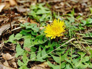 一輪だけ咲いていたタンポポの花