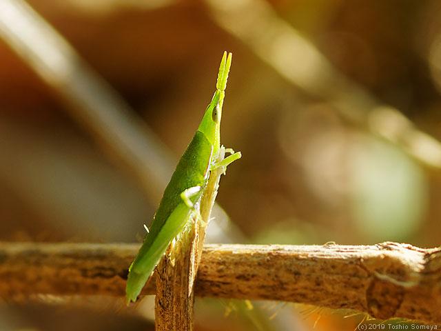 季節外れのオンブバッタ幼虫