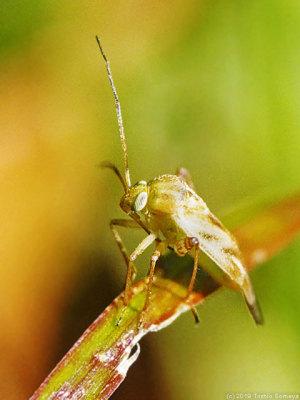 カスミカメムシの一種