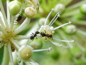 ヤツデの花で吸蜜するアリ