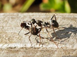 怪我した仲間を巣穴に運ぶアリ
