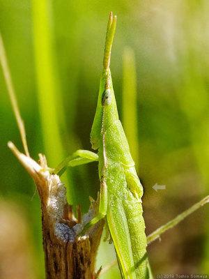翅が生え始めたオンブバッタ幼虫