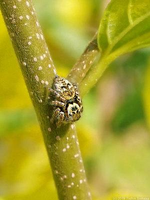 獲物の到来を待つハエトリグモ