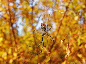 ジョロウグモの雌、限界近し?・・
