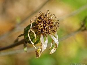 終末期に至ったツワブキの花