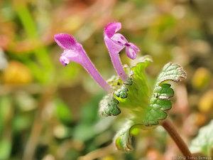 早々と咲いたホトケノザの花