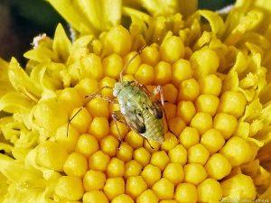 カスミカメムシの幼虫