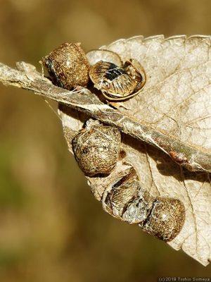 マルカメムシ成虫の惨状