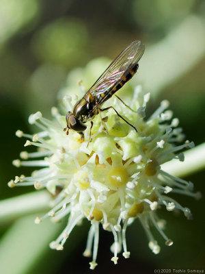 ヤツデの花で吸蜜するホソヒラタアブ