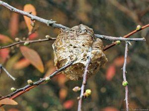 ユキヤナギの枝にあるオオカマキリ卵のう