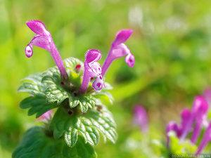 ホトケノザの花開く