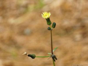 ノゲシの花、時期外れに開く。