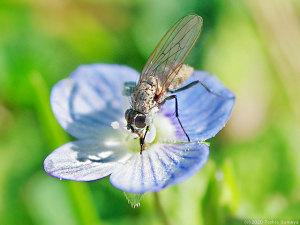 オオイヌノフグリの花に来た小型のハエ