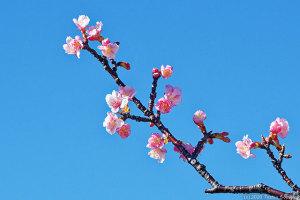 カワヅザクラの花開く