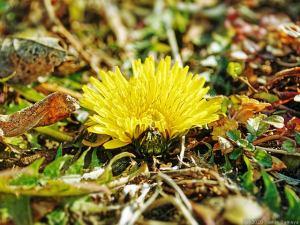 地面スレスレのタンポポの花