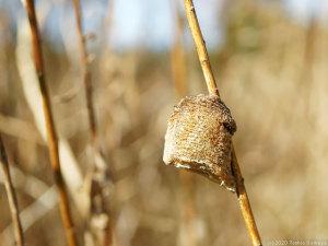 水草の茎に産み付けられたオオカマキリ卵のう