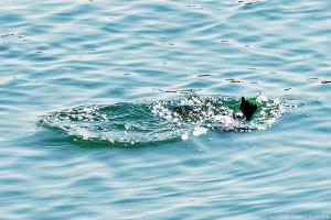 激しい波紋を残して水中に消えた!