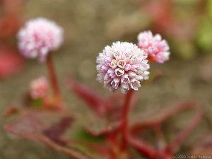 ヒメツルソバの花開く