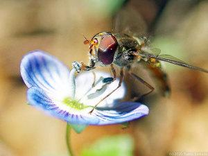 オオイヌノフグリの花で吸蜜するホソヒラタアブ