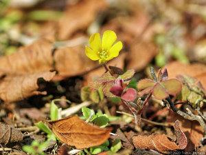キカタバミの花開く