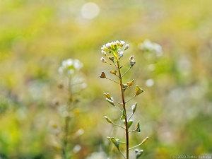 控えめなナズナの花