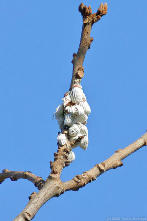 枝に集団でつくイセリアカイガラムシ