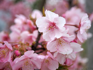 カワヅザクラの花